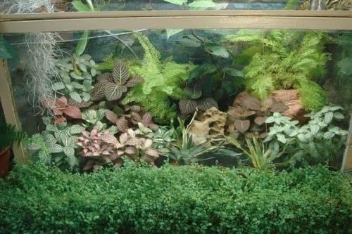 Фиттония в аквариуме чувствует себя отлично