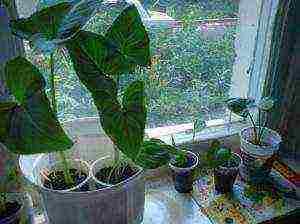 Как использовать стимулятор роста корневин в домашних условиях и в саду