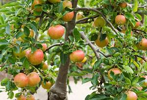 Можно ли привить яблоню на дичку и как это правильно сделать