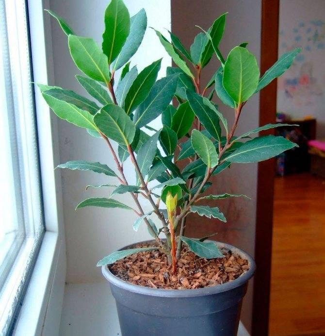 Лавровое дерево — выращиваем самостоятельно