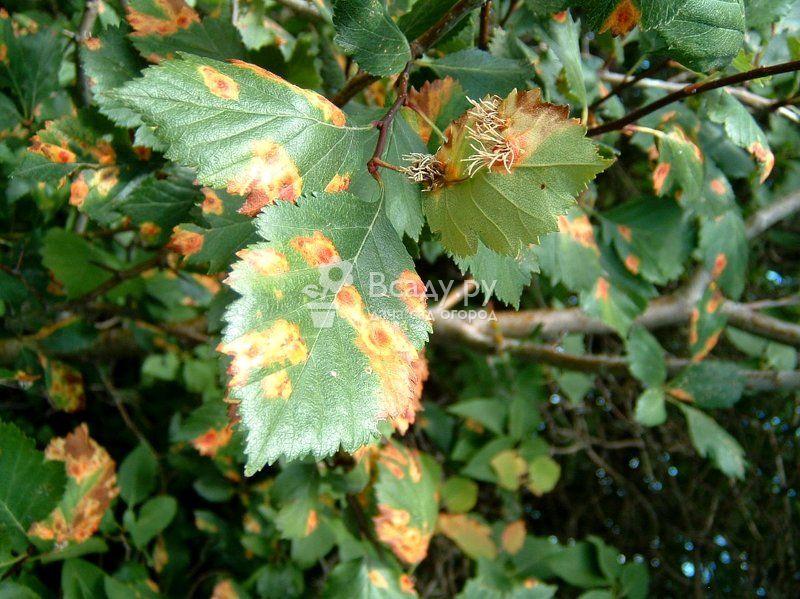 Почему у смородины чернеют листья
