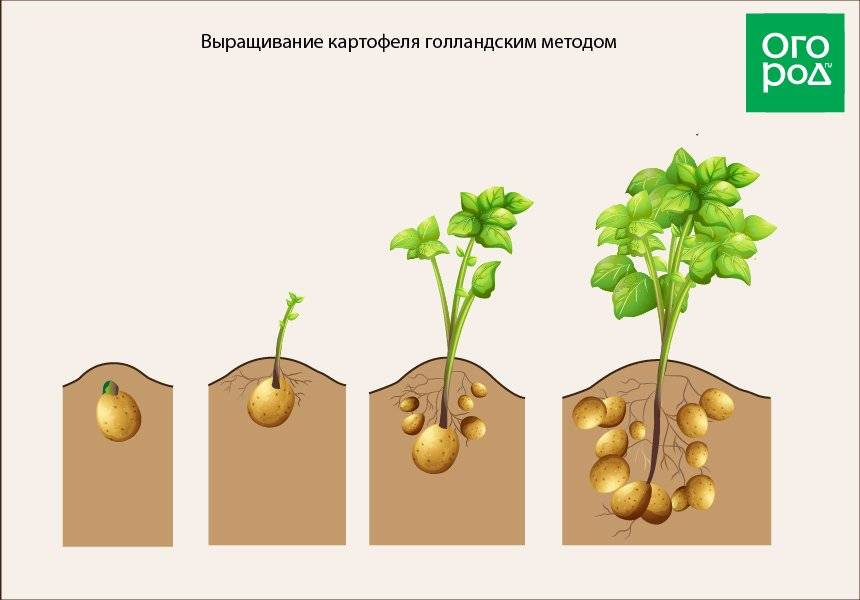 Метод посадки картофеля под солому (сено)