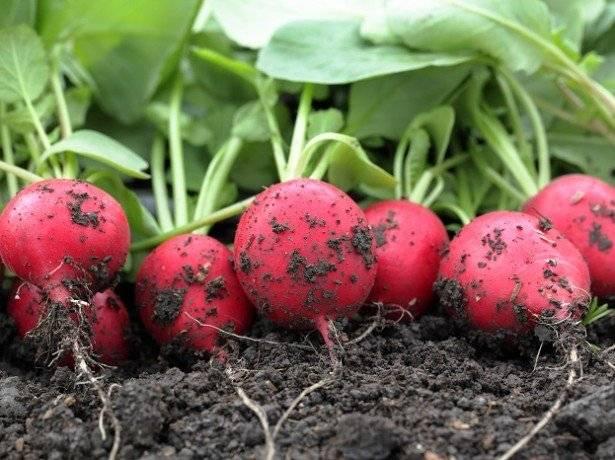 Как вырастить редиску в квартире: на подоконнике или балконе — правила посева и условия выращивания