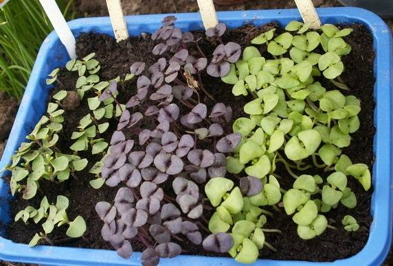 Как посадить и вырастить базилик из семян на огороде и без земли: советы и инструкции
