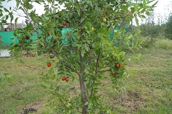 Зизифус, или унаби в саду — уже не экзотика