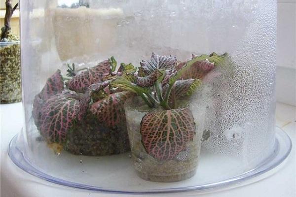 Капризная фиттония: выращивание в домашних условиях