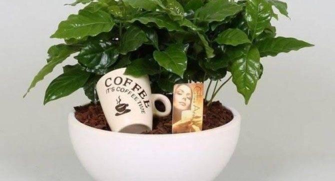 Кофейное дерево из семян дома