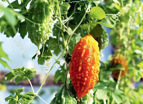 Момордика: выращивание из семян. выращивание момордики из семян доступно каждому растение момордика