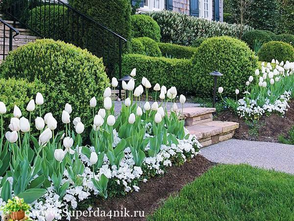 Когда сажать тюльпаны в саду и для выгонки к 8 марта