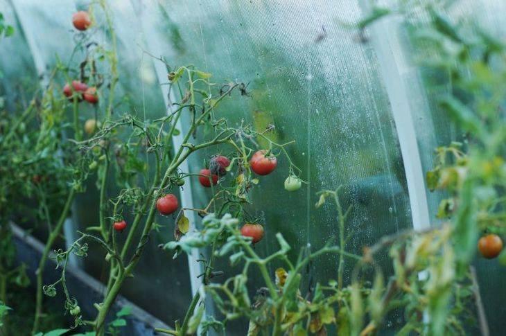 Белая пятнистость листьев помидор, методы лечения от септориоза