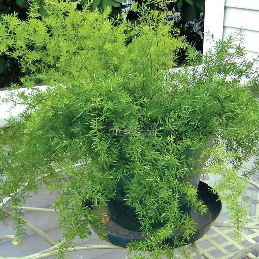 Аспарагус садовый и дикий — как зимует съедобный аспарагус
