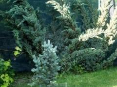 Потрясающий можжевельник лайм глоу на дачном участке