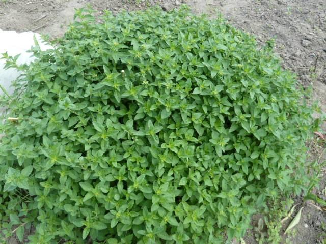 Посадка душицы (орегано) на рассаду и в открытый грунт: выращивание и уход