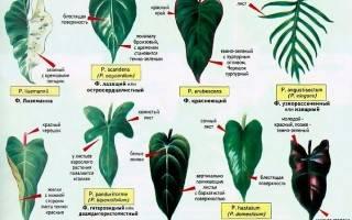 Филодендроны: уход, виды и сорта