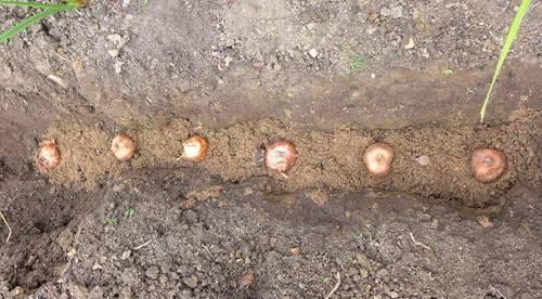 Когда высаживать гладиолусы на рассаду в северных районах