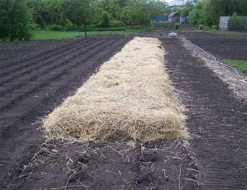 Основные правила и преимущества выращивания картофеля под соломой