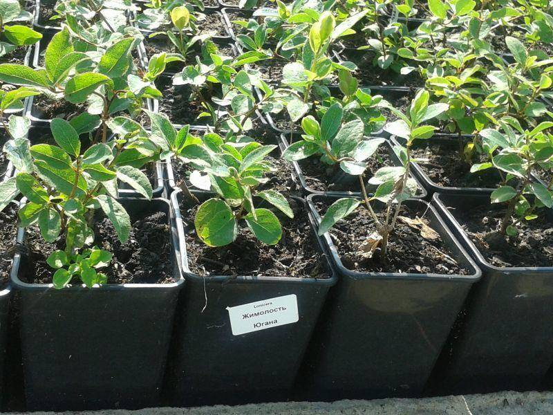 Как размножить кустарник жимолость съедобную зелеными черенками