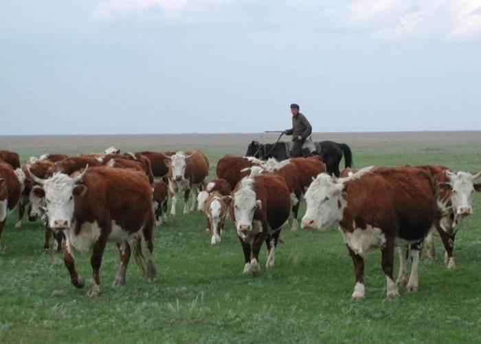 Самые лучшие породы молочных коров