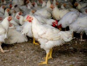 Как и чем лечить понос у цыплят в домашних условиях