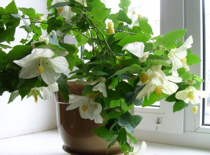 Абутилон: листья желтеют и скручиваются. почему? как лечить?