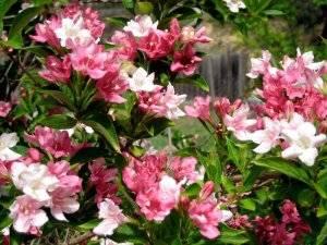 Вейгела — популярные сорта, особенности посадки и дальнейшего ухода в открытом грунте