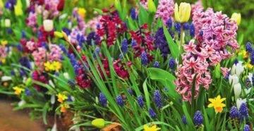 Приправа шафран, фото растения и специи, полезные свойства и противопоказания