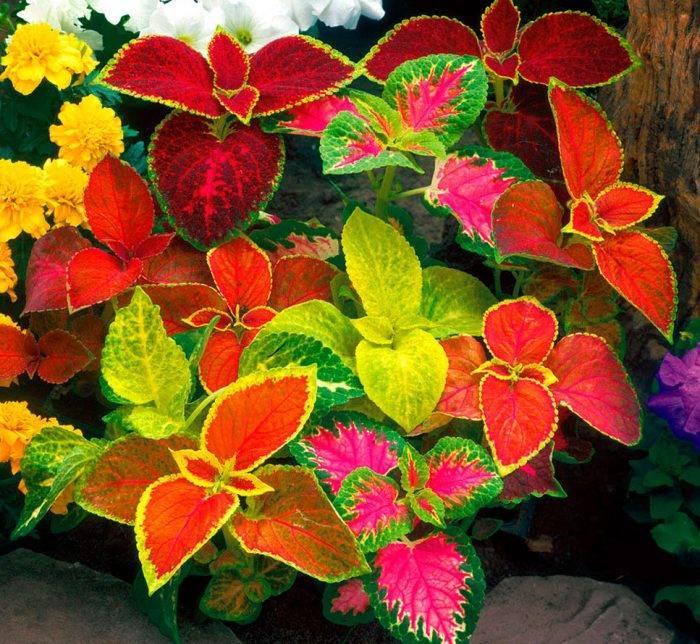 Декоративная крапива или колеус: уход в домашних условиях, фото яркой цветочной культуры, полезные рекомендации