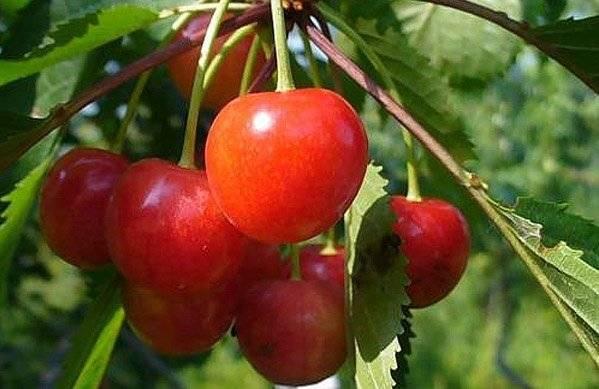 Черешня фатёж: растим сладкую и выносливую красавицу в саду