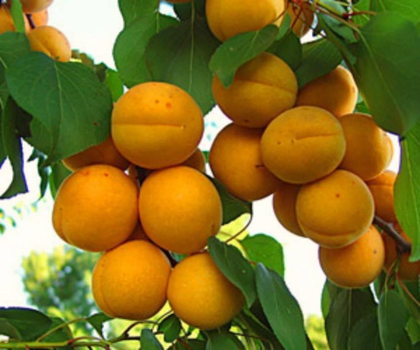 Правила успешной прививки абрикоса: как и что прививать?
