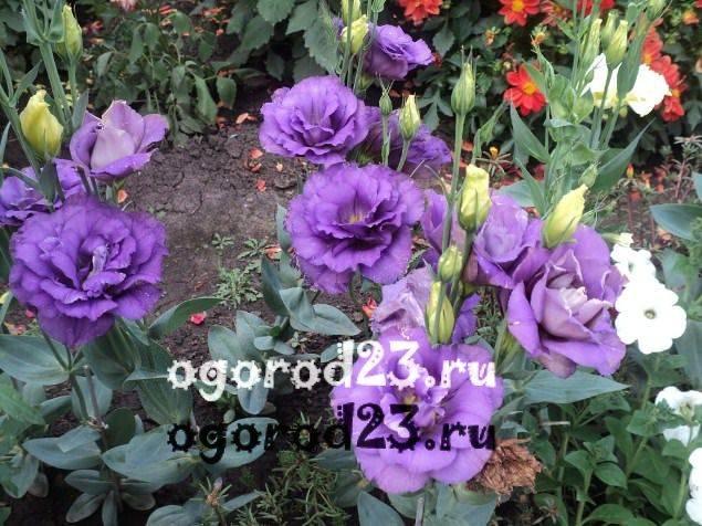 Эустома многолетняя - посадка и уход луковичного растения, зимовка
