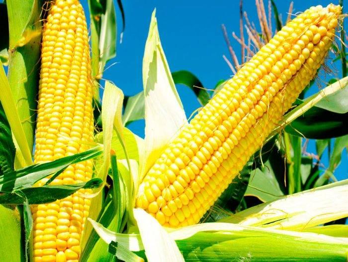 Как понять, созрела ли кукуруза?