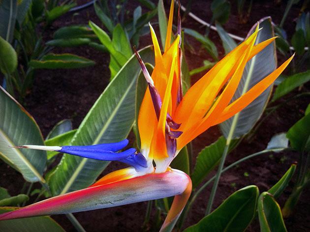 Как посадить и вырастить из семян королевскую стрелицию дома