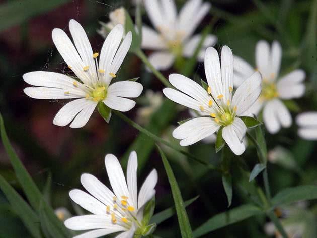 Звездчатка-мокрица – лекарственная трава с огородной межи