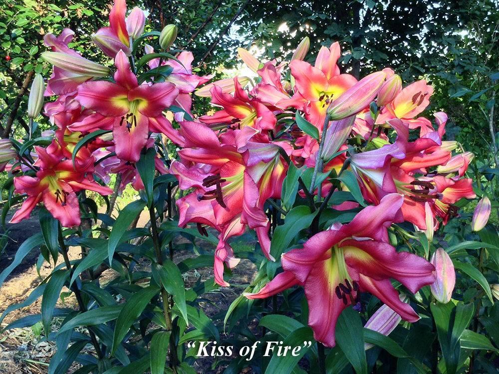 Утончённые цветы лилии – живое украшение сада
