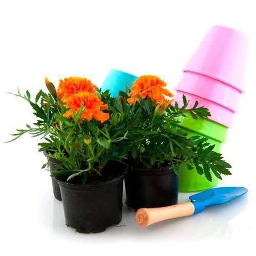 Посев бархатцев для раннего цветения. бархатцы. грунт, сроки и подробности выращивания. общая характеристика бархатцев.