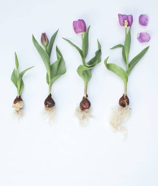 Все о выкапывании луковиц тюльпанов и правилах их хранения