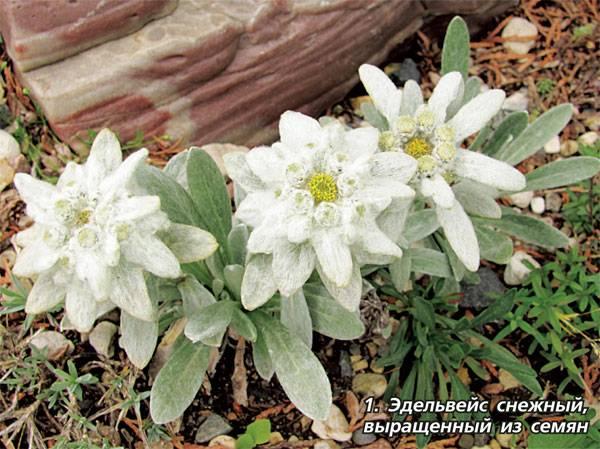 Эдельвейс альпийский: лучшие сорта и советы по выращиванию