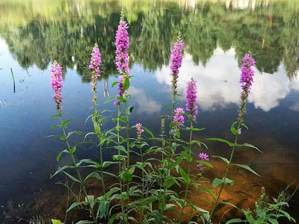 Гербера садовая: фото и описание, посадка и уход, секреты выращивания