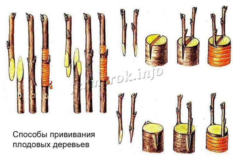 Как привить грушу: пошаговая инструкция как правильно прививается дерево. советы начинающим садоводам по прививке (90 фото)