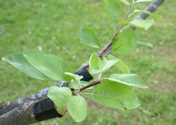Удачная прививка яблонь летом черенками. сроки, методика, технология