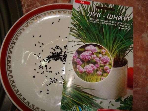 Как вырастить лук из семян и севка