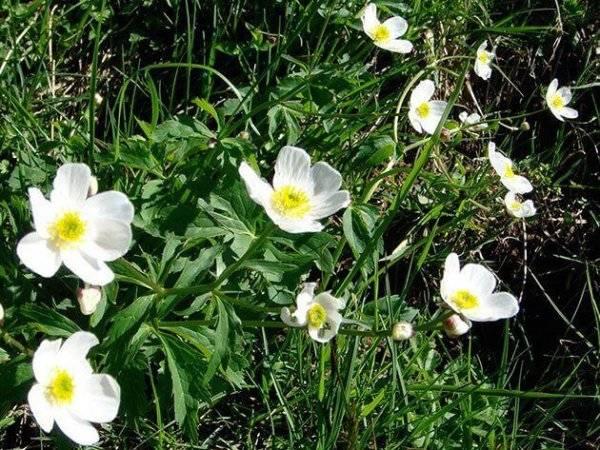 50 фото и описание растения «лютик едкий», его полезные свойства и противопоказания