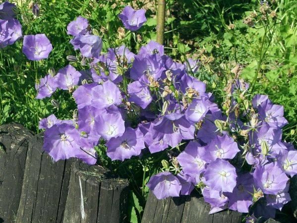 Колокольчик персиколистный: описание, выращивание и размножение