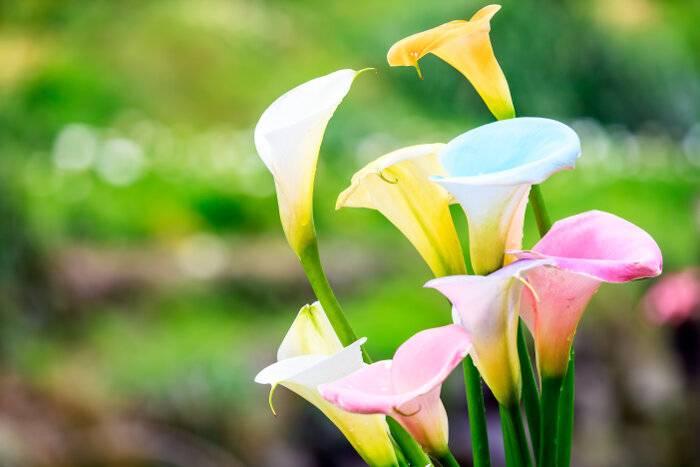 Когда и как правильно сажать клубни каллы в открытый грунт весной