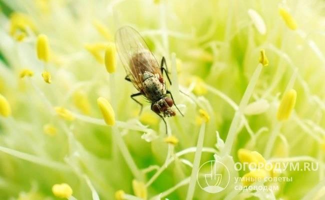 Как бороться с луковой мухой