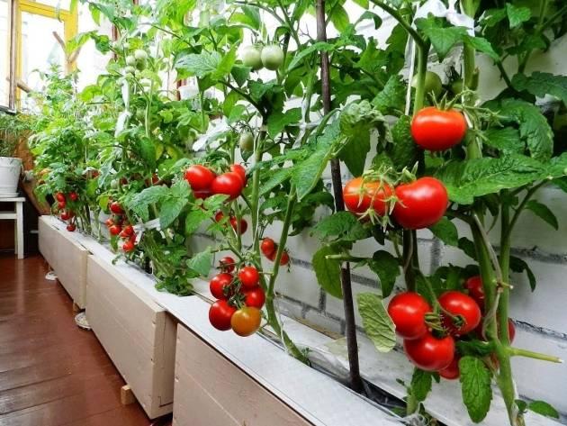 Выращивание и уход за помидорами черри в открытом грунте, теплице и дома