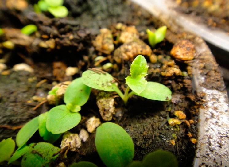 Платикодон: посадка и уход в открытом грунте