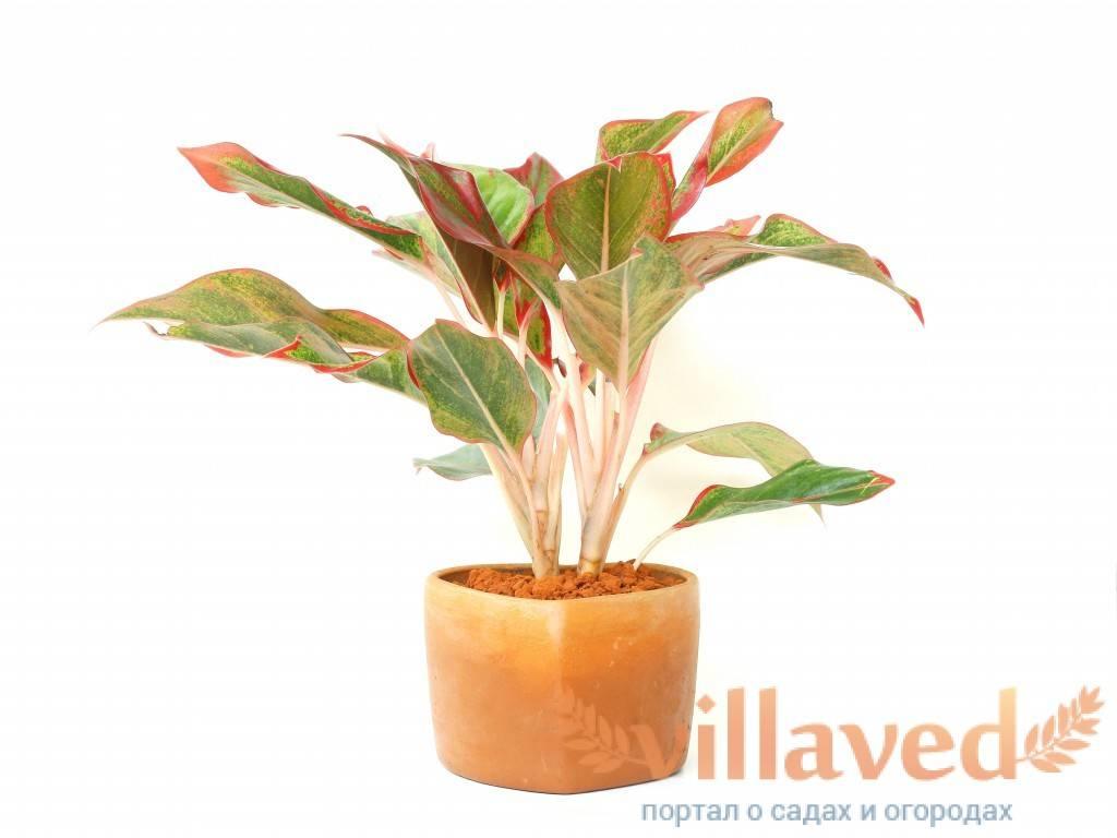Цветок аглаонема — уход в домашних условиях