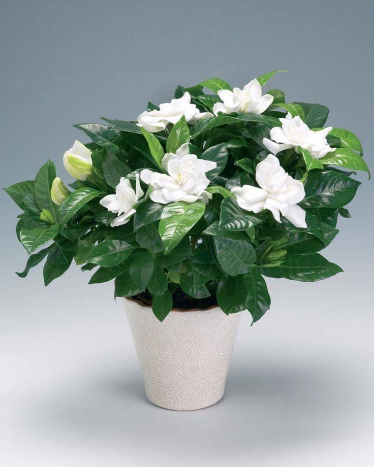 Что за растение — гардения жасминовидная? особенности выращивания в домашних условиях