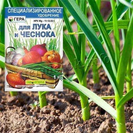 Подкормка чеснока в июне — залог хорошего урожая